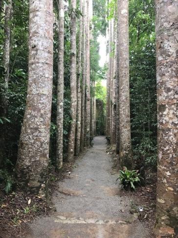 Kauri Pines at Paronella Park